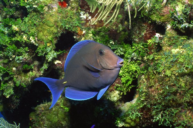 Blue tang school grazing on algae-covered coral