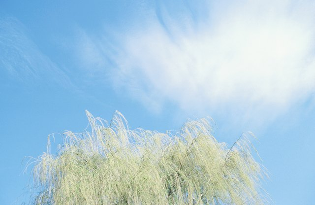 Weeping willow against sky
