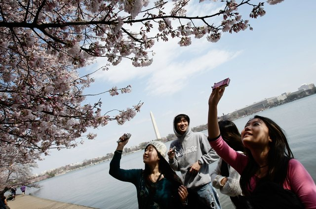 Cherry Blossoms Begin To Bloom Throughout Washington