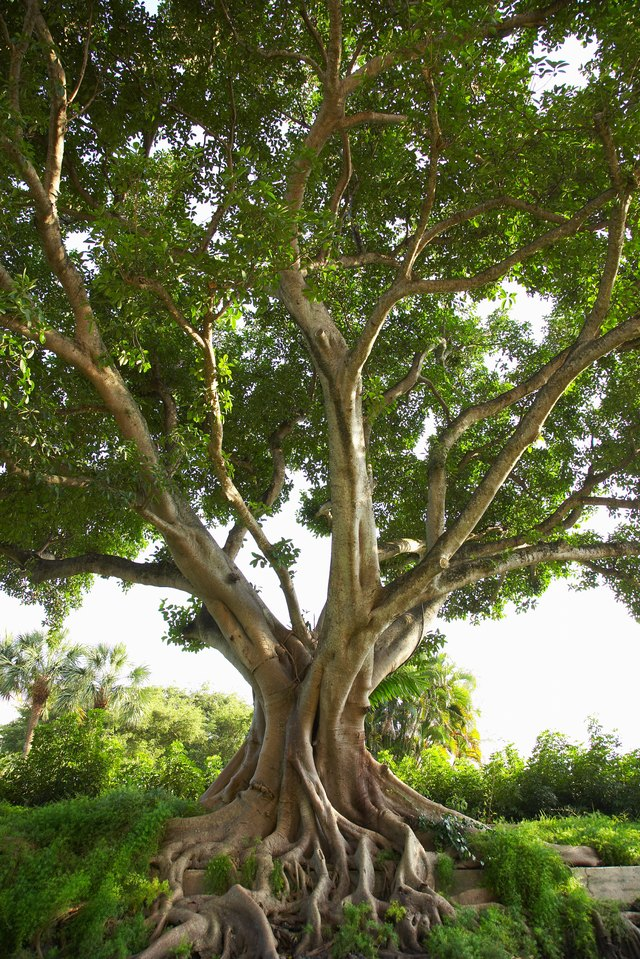 How To Germinate A Ficus Religiosa Hunker