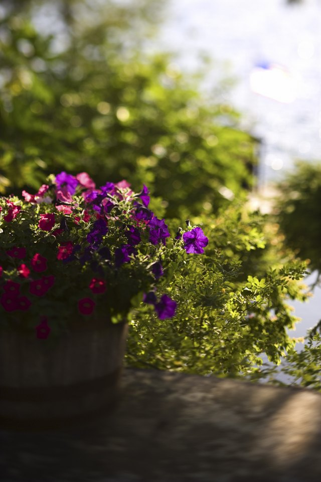 What Are the Tiny White Spots on My Petunias? | Hunker