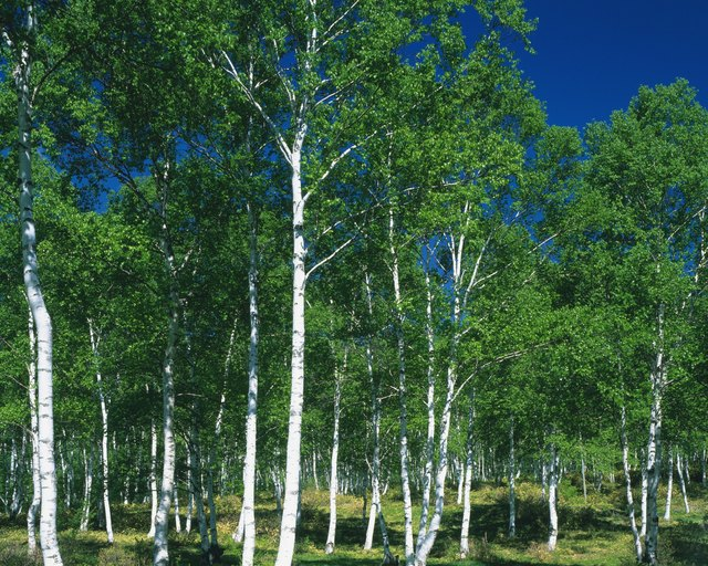 White Birch in the Woods, Front View, Pan Focus