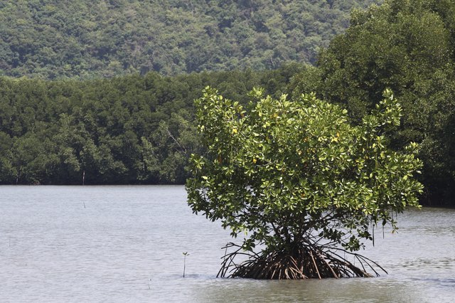 Tree in mangrove