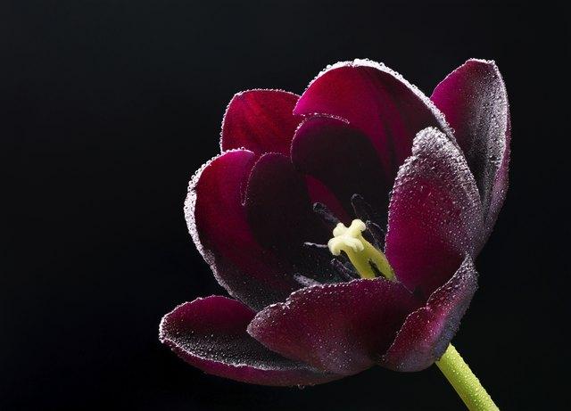 How To Grow Tulip Bulbs In Water Hunker