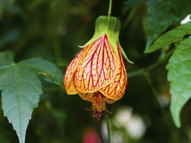 Abutilon hybridum CHINESE LANTERN hanging colorful flowers