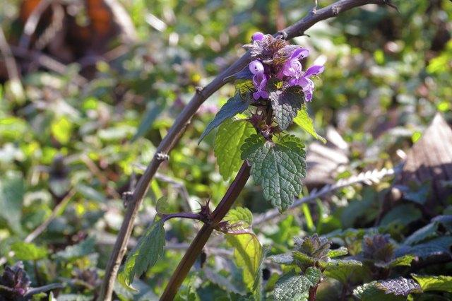 Red Deadnettle - Lamium purpureum