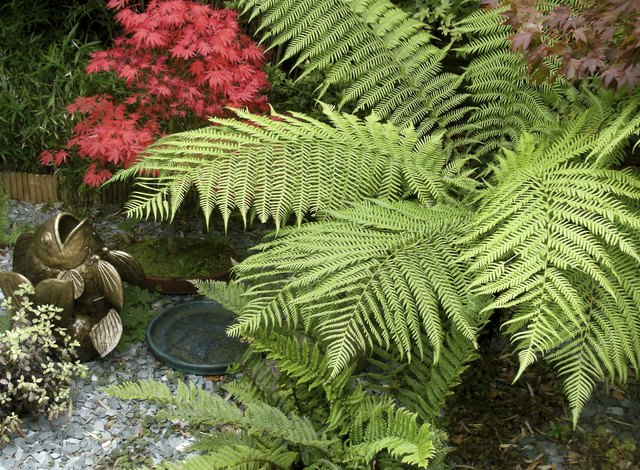 Image of a Tree Fern (Dicksonia) and Japanese maple