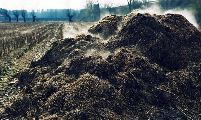 Heap of steaming cow-dung