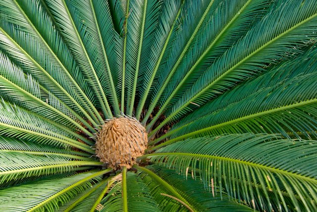 Cycad Plant from Above