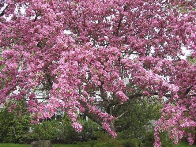 crabapple in bloom 2