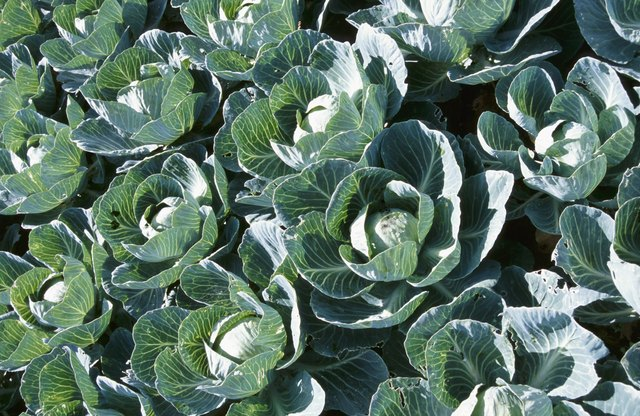 High angle view of cabbage plants