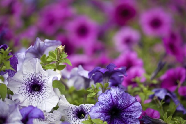 violet and pink petunia flowers