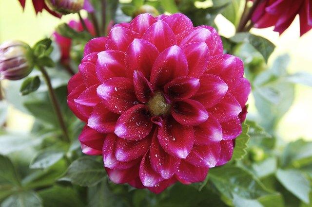 Are Dahlias Annual Or Perennial Hunker