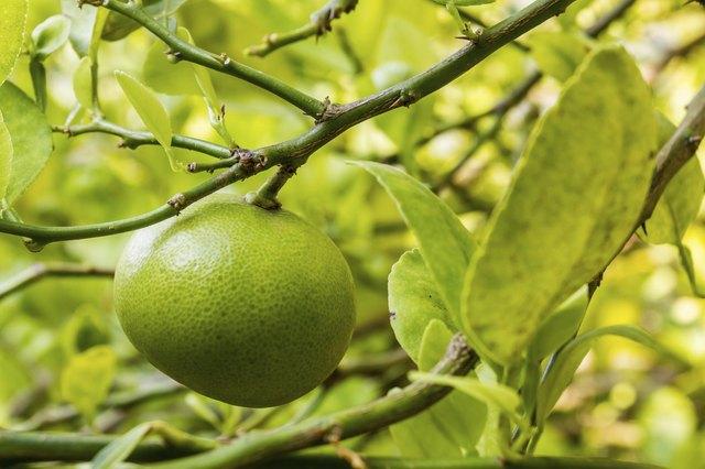 Fresh lime.