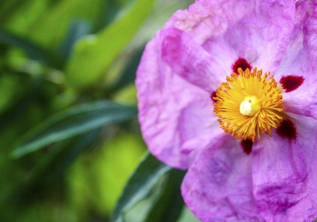 Bright pink cistus flower close-up