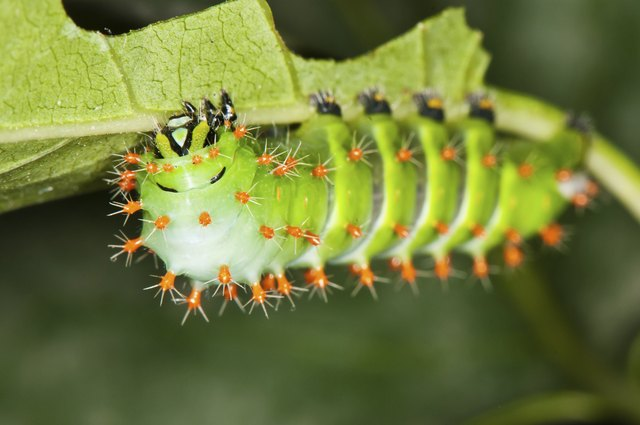 green caterpillar with red thorns