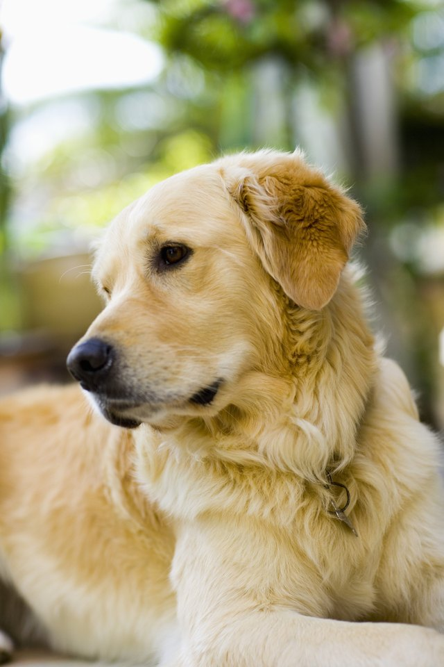 Portrait of Golden Retriever