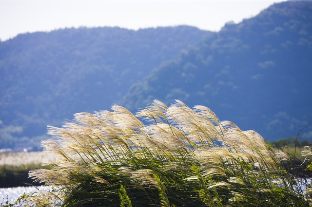 Japanese pampas grass, Omihachiman, Shiga Prefecture, Japan