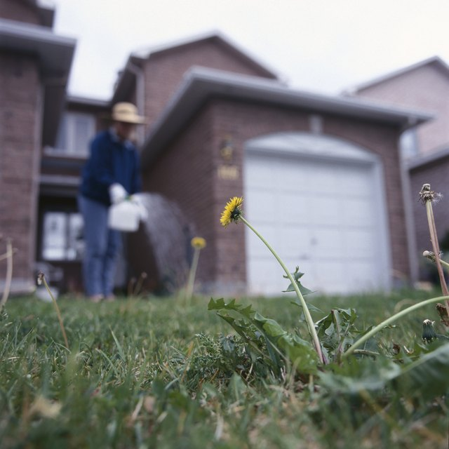 Woman spraying weed-killer on dandelions