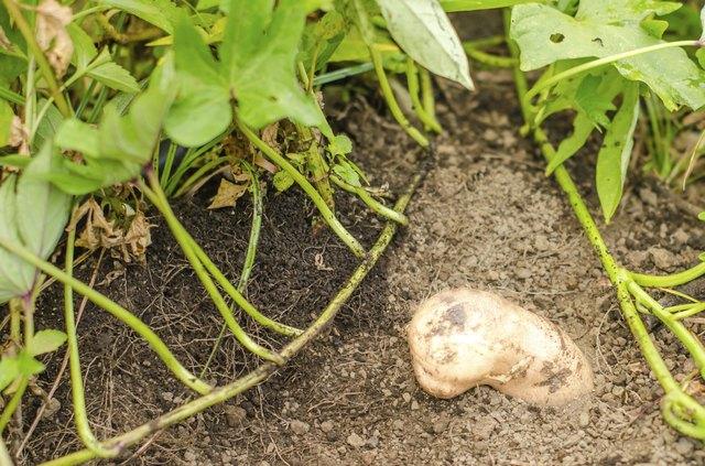 digging sweet potatoes