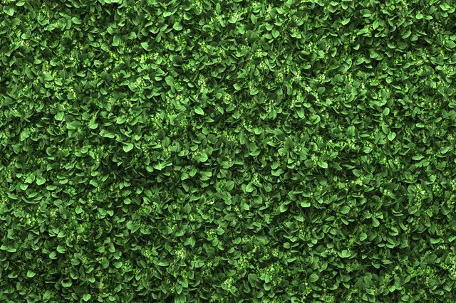 green box hedge background