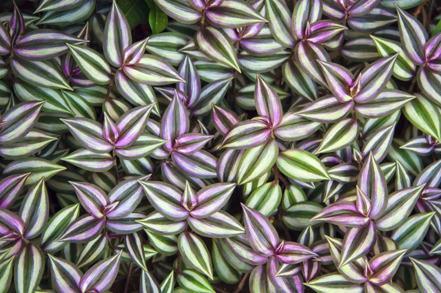 Green leaves of Tradescantia zebrina background