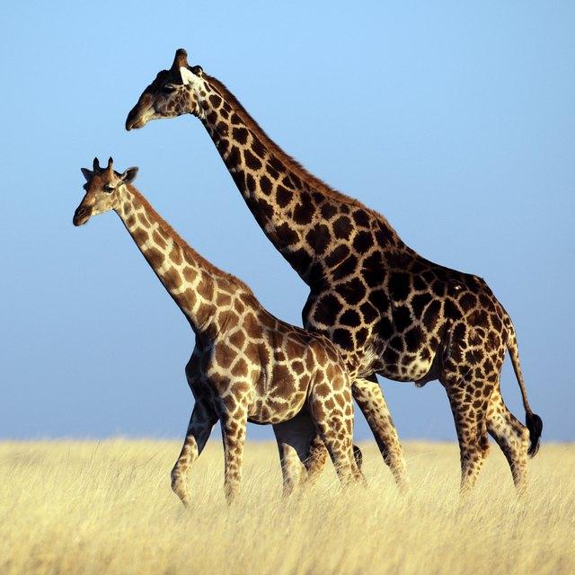 Giraffes walking across the savannah