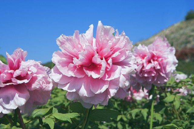 How to grow peonies in texas hunker pink peony mightylinksfo