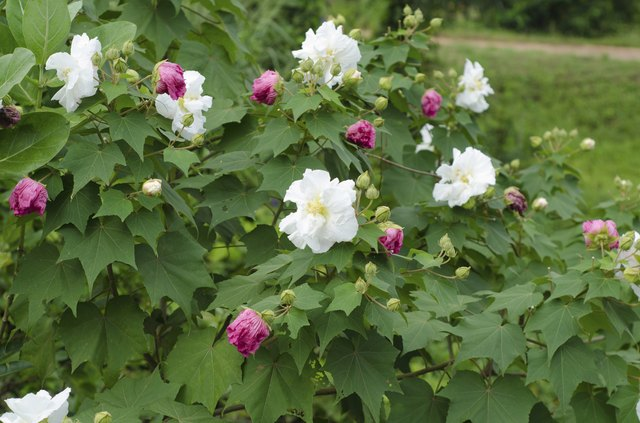 How To Grow A Confederate Rose Hunker