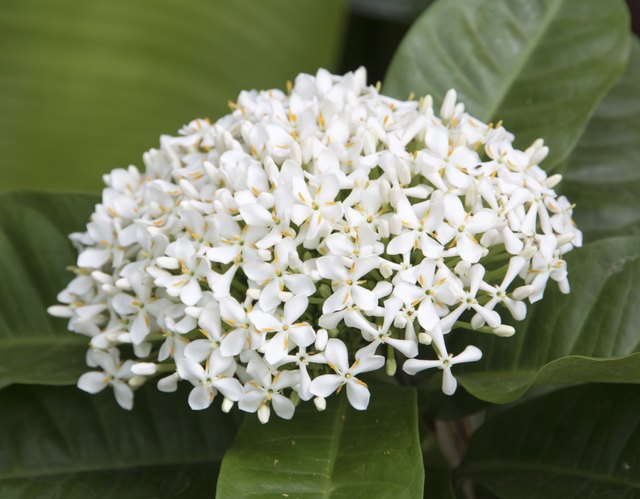 beautiful white ixora flower