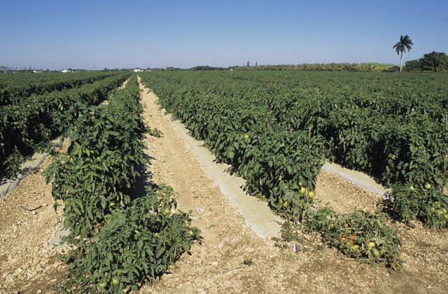 Tomato fields, Florida, USA