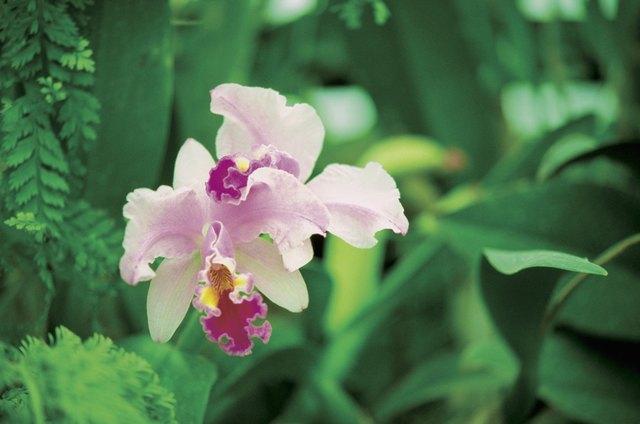 Close-up of a Two-Tone Orchid, Garden of the Sleeping Giant, Viti Levu Island, Nadi, Fiji