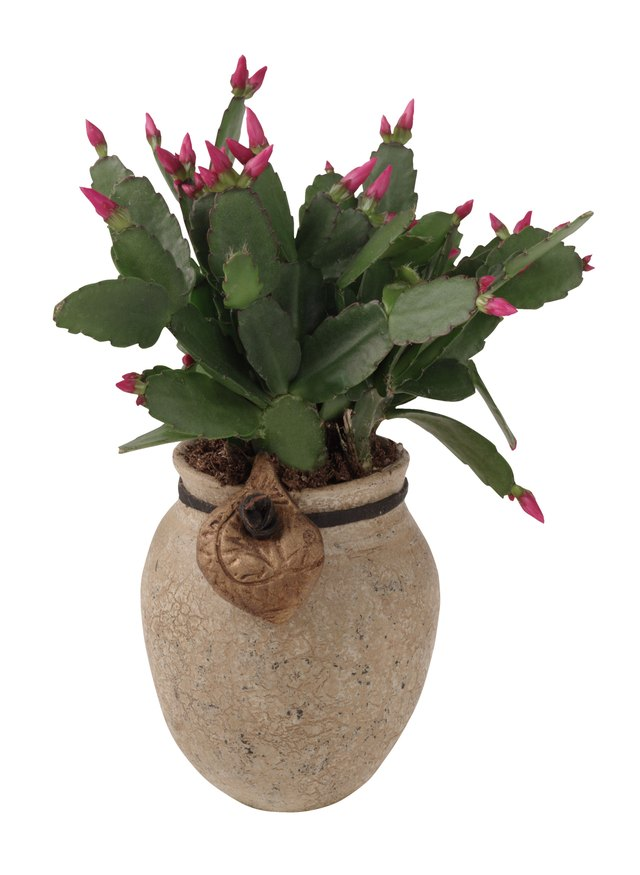 How to Treat Christmas Cactus Disease | Hunker