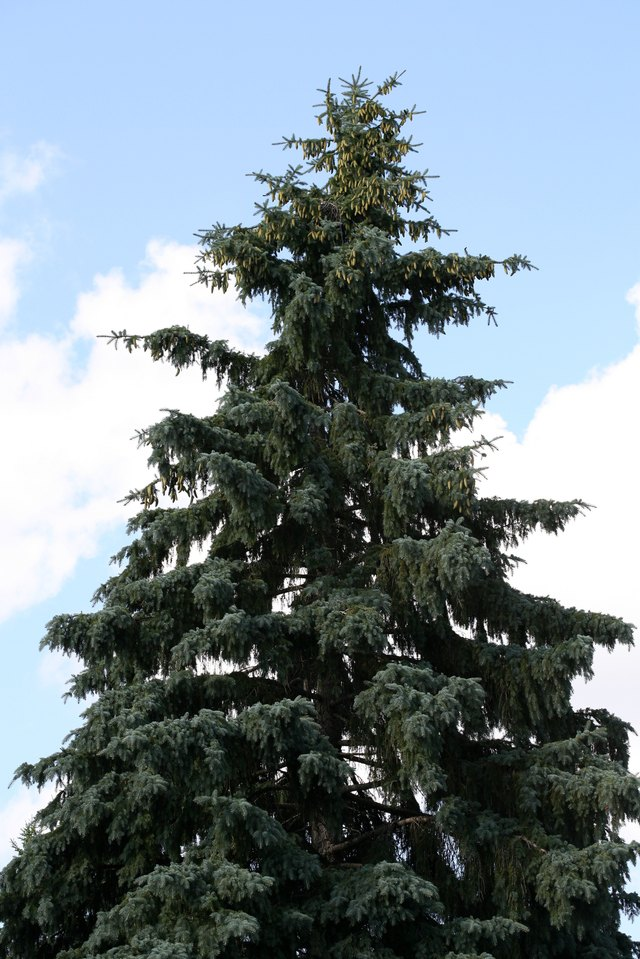 Coniferous tree against blue sky