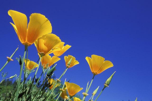 Low angle view of California Golden Poppies, Oregon, USA (Eschscholzia californica)