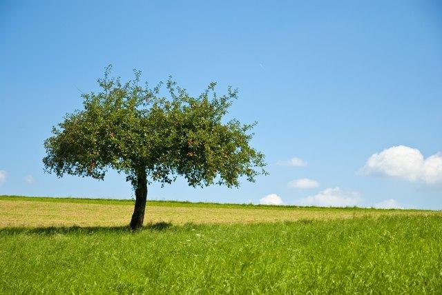 Beautiful apple tree an green meadow