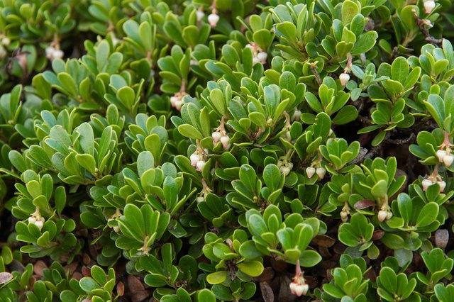 Plant with medicinal properties. Bearberry Leaves, Arctostaphylos uva-ursi - Planta con propiedades medicinales.  Hojas y flores de Gayuba, uva de oso,  Arctostaphylos uva-ursi