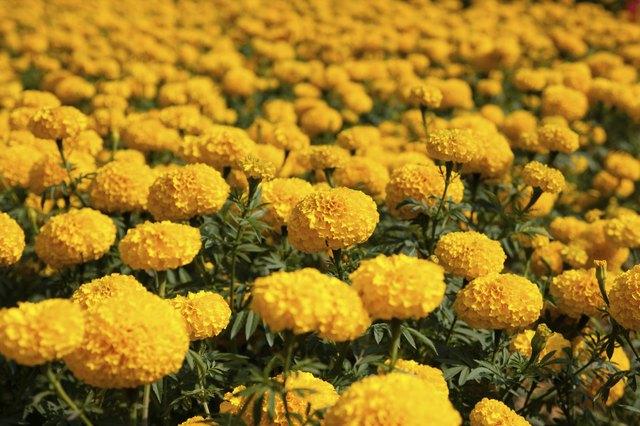 Marigold backgrounds in the garden. flower backgrounds in the garden. beautiful of marigold. yellow flower background.