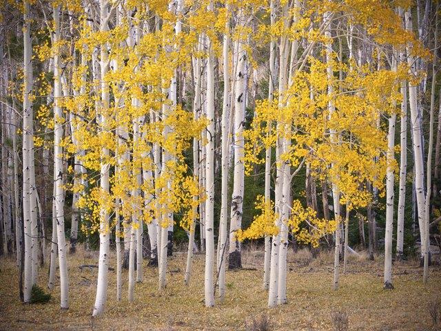 Aspen Grove in Fall Color