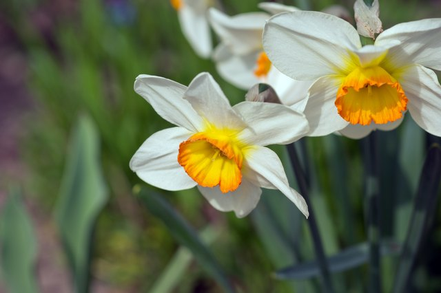 Closeup White and Yellow Daffodil, Narcissi