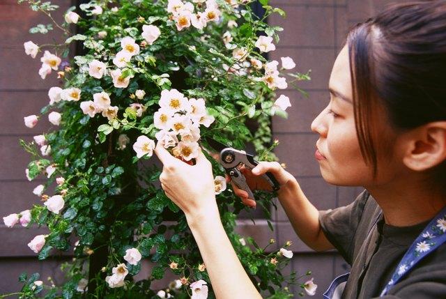 Woman pruning rose bush