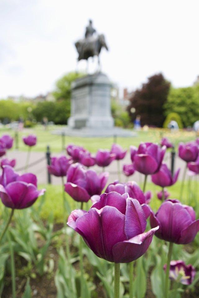 Tulips in Boston Public Gardens, Massachusetts