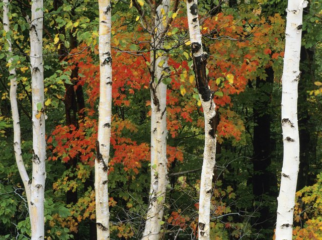 American White Birch tree trunks in New Hampshire, USA