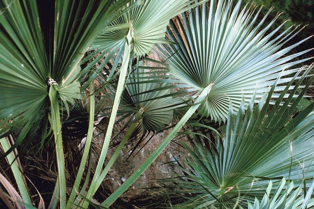 The Root System of Fan Palms | Hunker