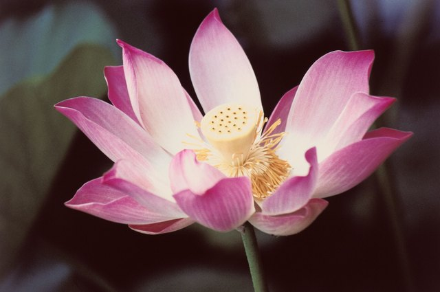 Names of asian flowers hunker lotus flower mightylinksfo