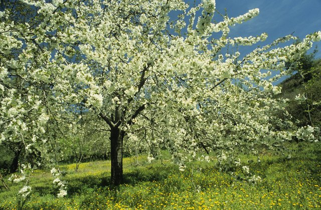 Poisonous Wild Cherry Trees in North America | Hunker