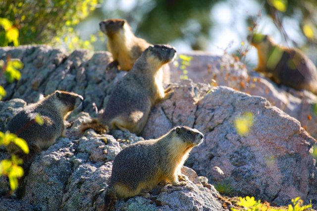 Group of gophers