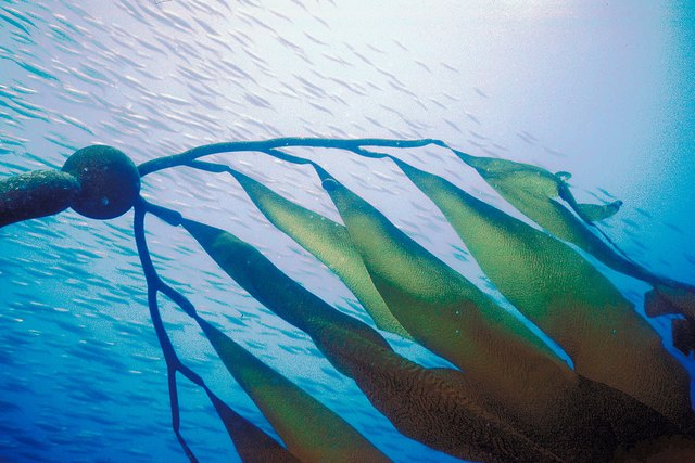 Staghorn kelp, Santa Cruz Island