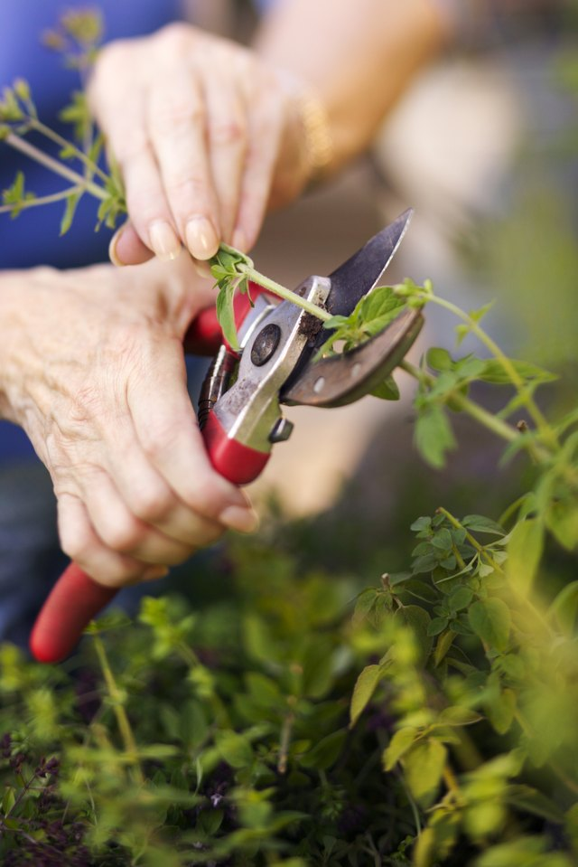 Hands pruning bush