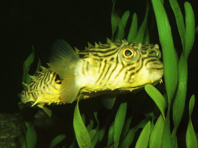 Striped Burrfish (Chilomycterus schorafi)